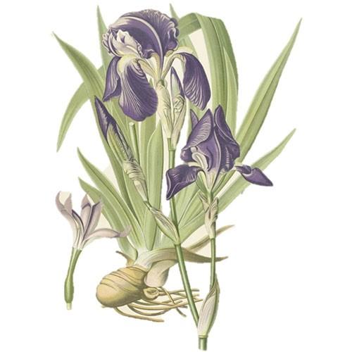 Oris (Iris)